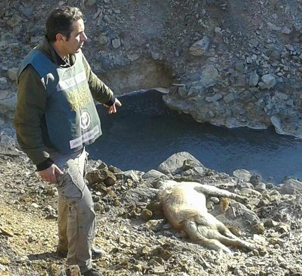 Esalazioni gassose di anidride carbonica e acido solforico - Trovate carcasse di 11 cinghiali e di un cane di grossa taglia.