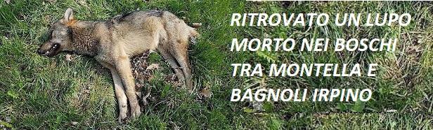 Lupo ucciso nelle campagne tra Bagnoli e Montella